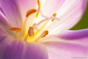Zimowit jesienny - wnętrze kwiatu
