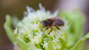Pszczoła na lepiężniku białym