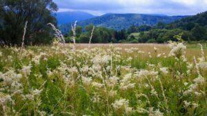 Wilgotne łąki to ulubione siedlisko wiązówki