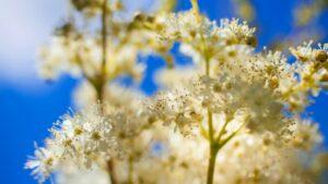 Kwiatostan wiązówki błotnej
