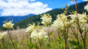 Kwitnącą wiązówka na łąkach pod Karkonoszami